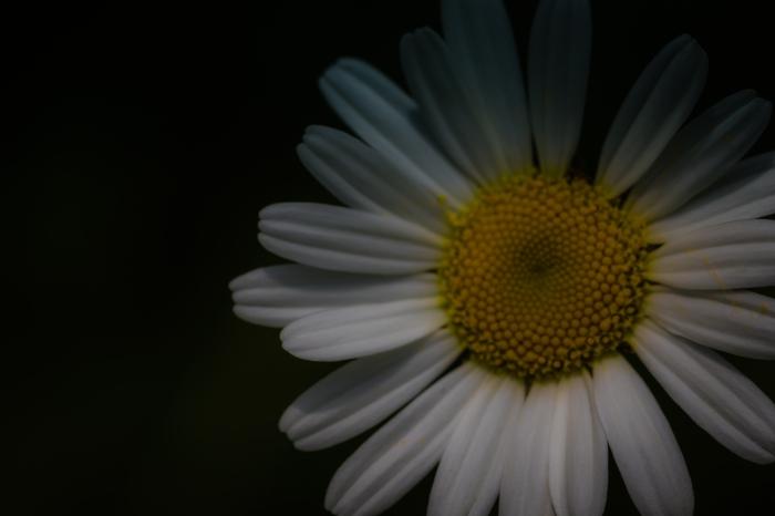A simple wild daisy
