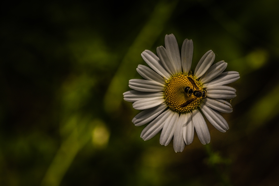 The daisy and the wasp