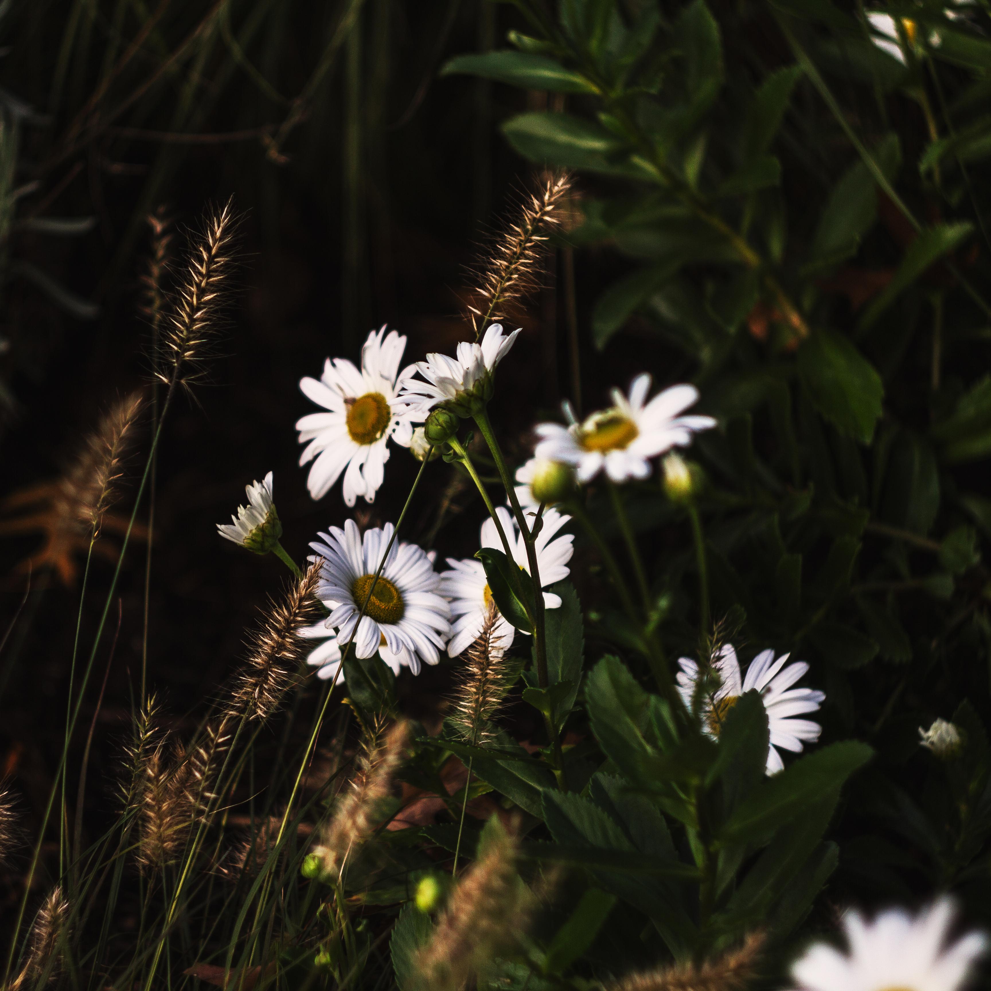 Autumn Daisys